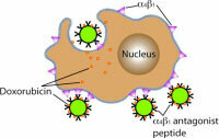 Engineering multifunctional nanoparticles for targeted drug delivery In cancer